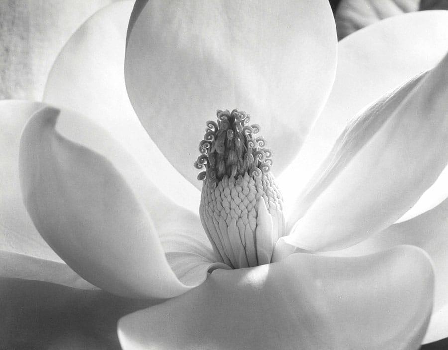 2017 NYR 15396 0008 000imogen cunningham magnolia blossom 1925 - I fotografi più famosi al mondo: lista aggiornata al 2021  blog