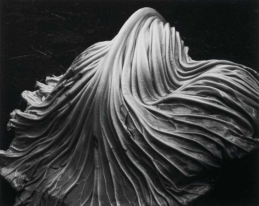 Edward Weston Cabbage Leaf 39 V HighRes master - I fotografi più famosi al mondo: lista aggiornata al 2021  blog